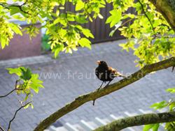Juni Impressionen Amsel im Baum