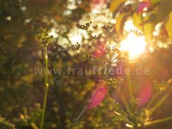Juni Impressionen Petersilienblüten