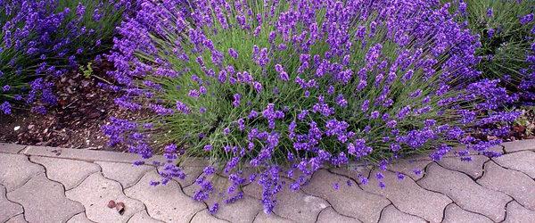 DIY Lavendel-Deko