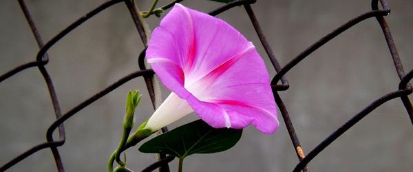 Blüte am Zaun