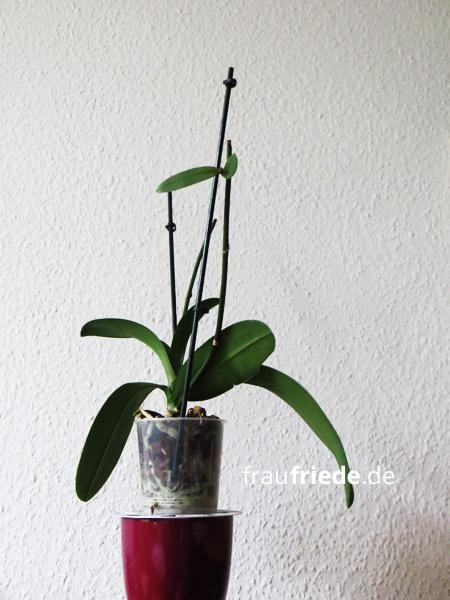 orchidee01