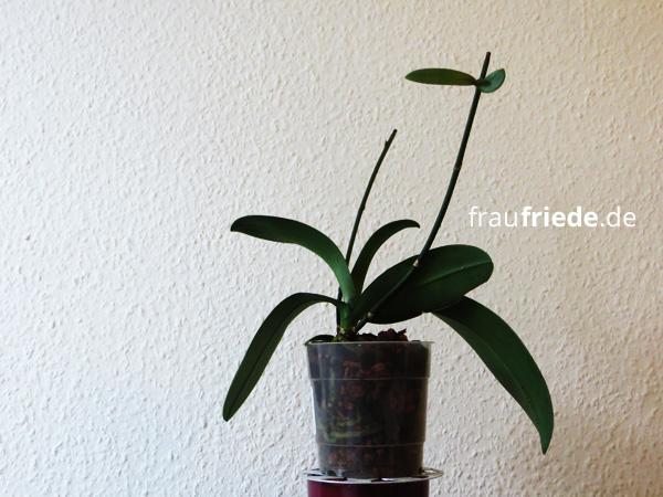 orchidee06