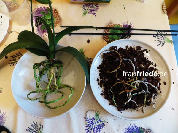 Orchidee beim Umtopfen