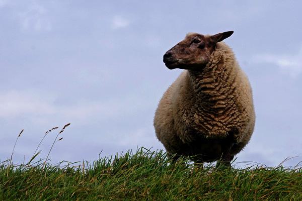 Ich bin ein Schaf - Jesus der gute Hirte