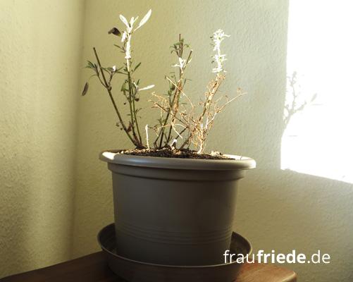 Natürliche Hausapotheke - Der eigene Kräutergarten: Salbei und Thymian
