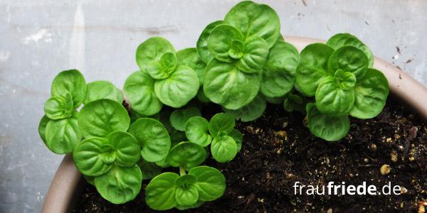 Natürliche Hausapotheke - Der eigene Kräutergarten: Minze