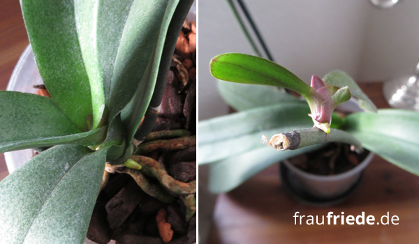 Orchidee mit neuer Wurzel